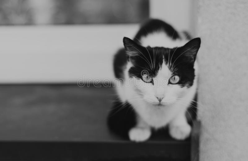 Black and white cat. Siting in the window stock photo