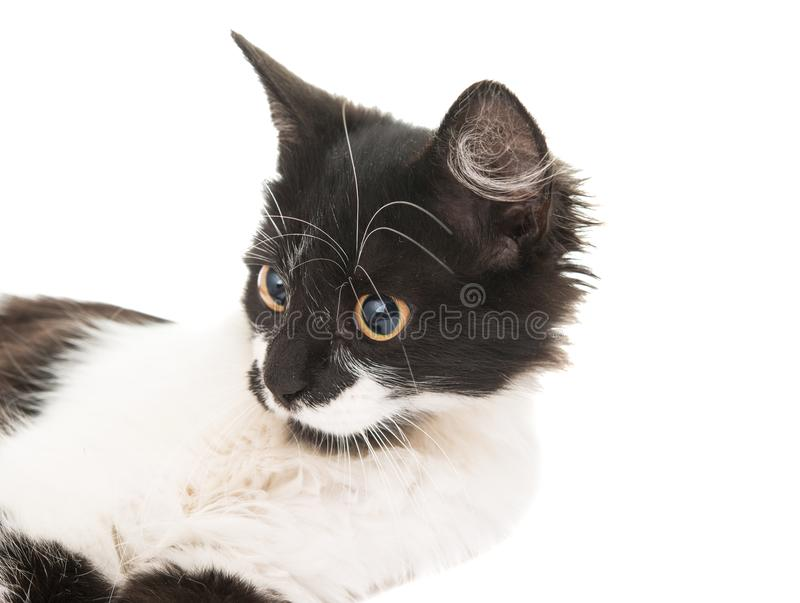 Black and white cat. On a white background royalty free stock image