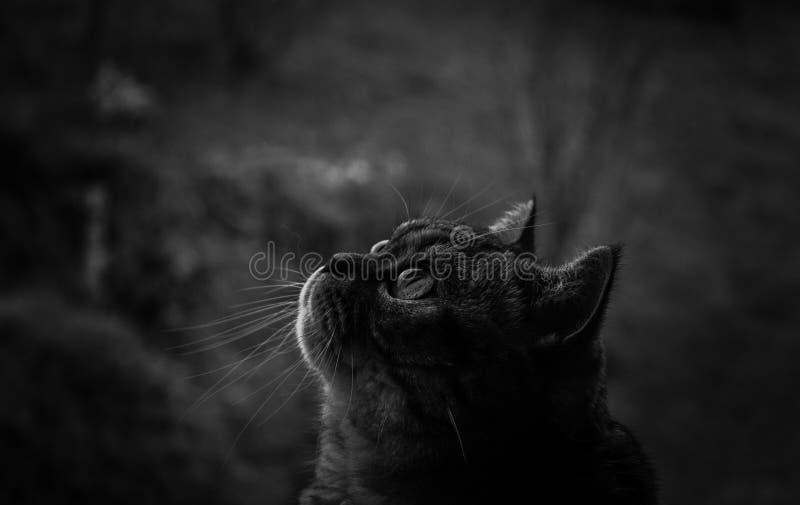 Black and white cat. Cat british shorthair, pets, illumination, fur whiskers big eyes, blurred background, black and white, vignetting