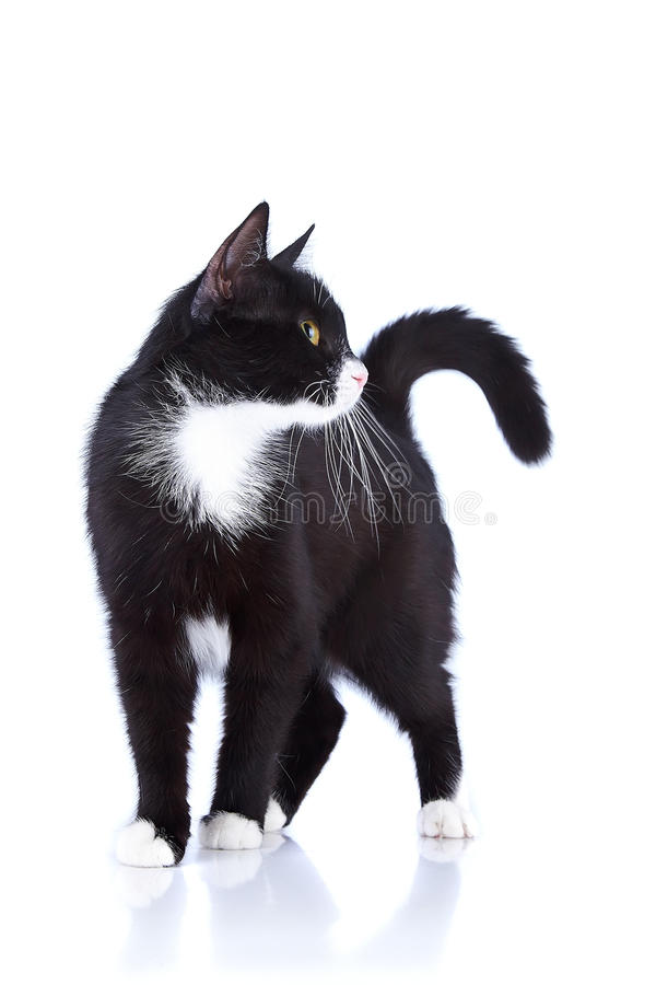 Black-and-white cat. Cat on a white background. Black cat. House predator. Small predatory animal stock photo