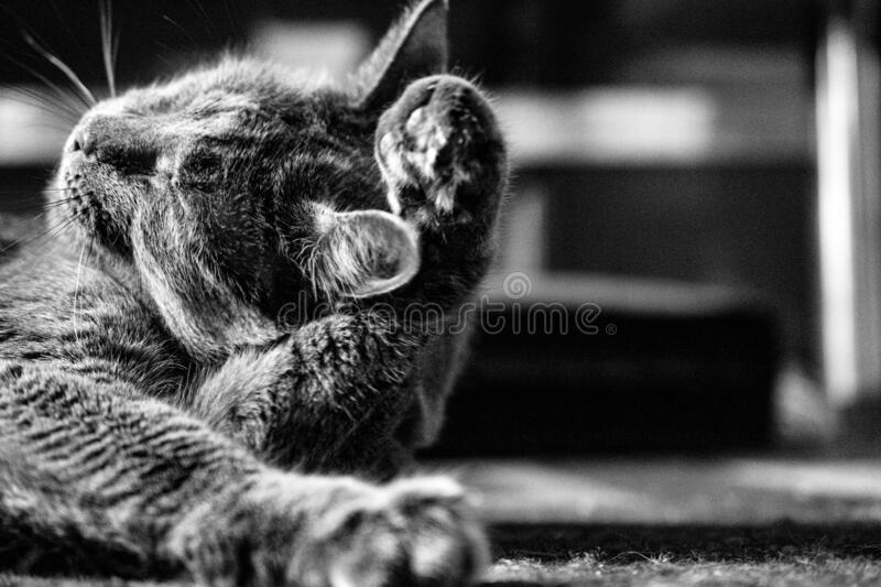 Cat cleaning. Black & white cat cleaning on carpet stock photography