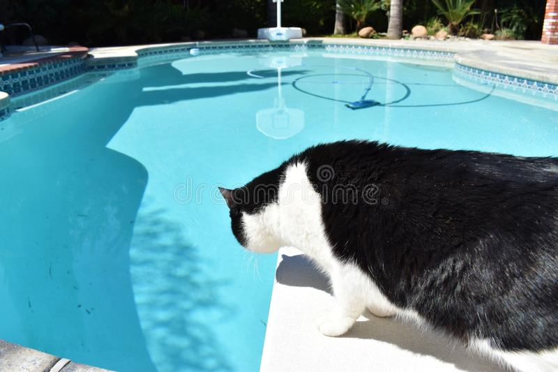 Overlooking the swimming pool from the diving board, a black and white cat is curious about the pool below. stock images