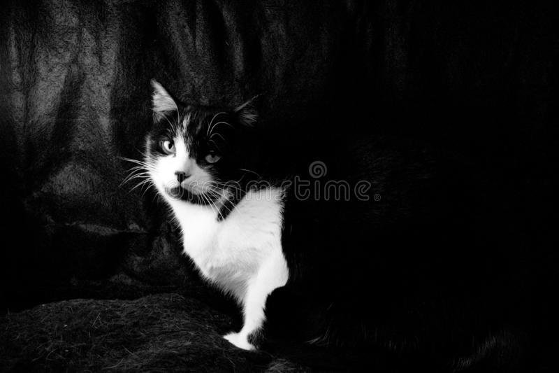 Black and white cat with immunodeficiency royalty free stock images