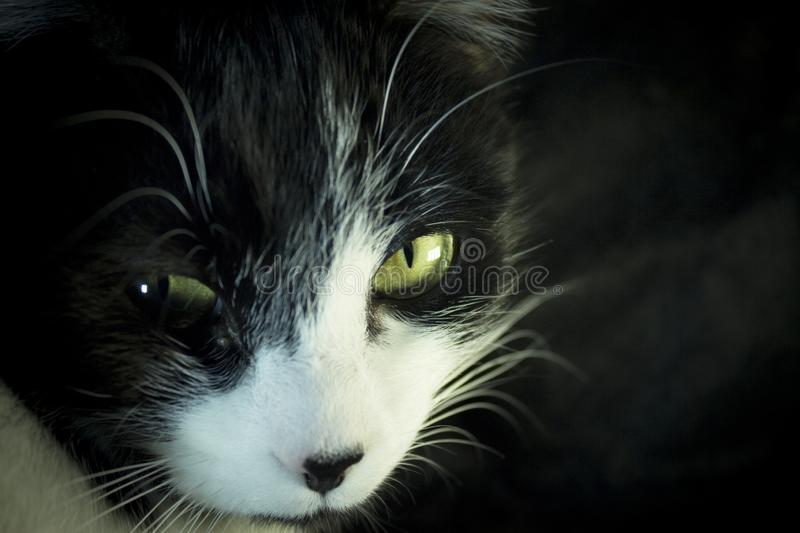Black and white cat with immunodeficiency royalty free stock photos