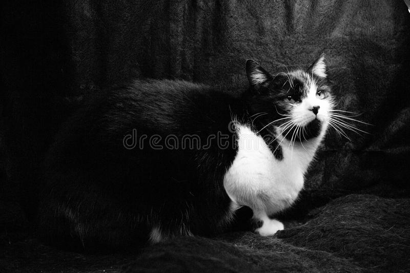Black and white cat with immunodeficiency stock images