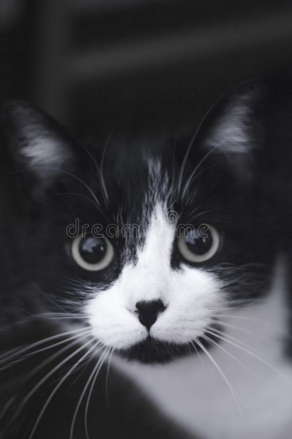 Black and white cat with immunodeficiency royalty free stock photo