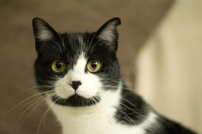 Black and white cat with immunodeficiency royalty free stock photography
