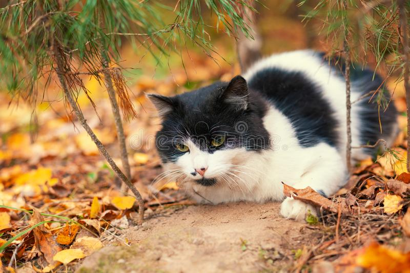 Black and white cat lay on the leaves in the autumn forest. Cat enjoying life royalty free stock photography