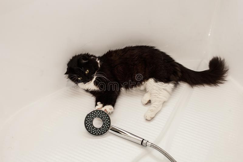 A black and white cat lies in the bathroom and plays with its paw with a shower. Fear of water and pet washing stock photos