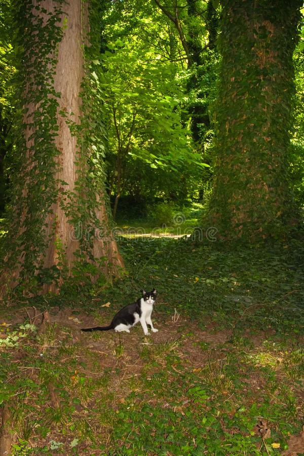 Domestic cat explore the forest. Black and white cat lying on the ground in the woods