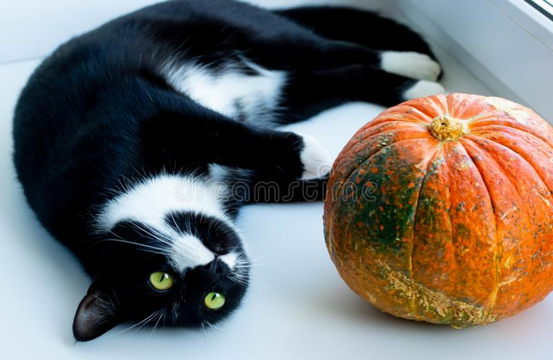 Black and white cat lying on plaid with pumpkin. Concept winter cozy comfort. Autumn royalty free stock images