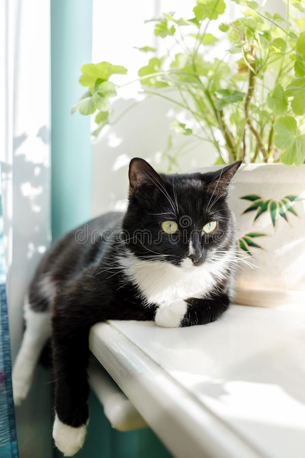 Black and white cat is lying on sunlit windowsill with flowers. Black and white cat is lying on white sunlit windowsill with green indoor flowers royalty free stock images