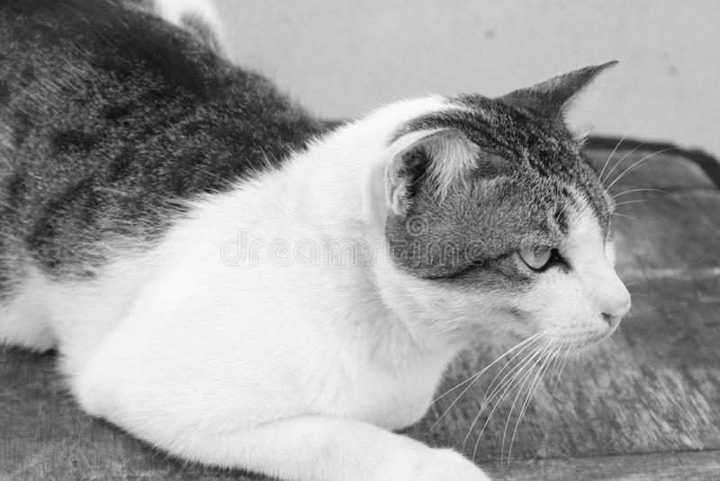 Black-white cat royalty free stock image