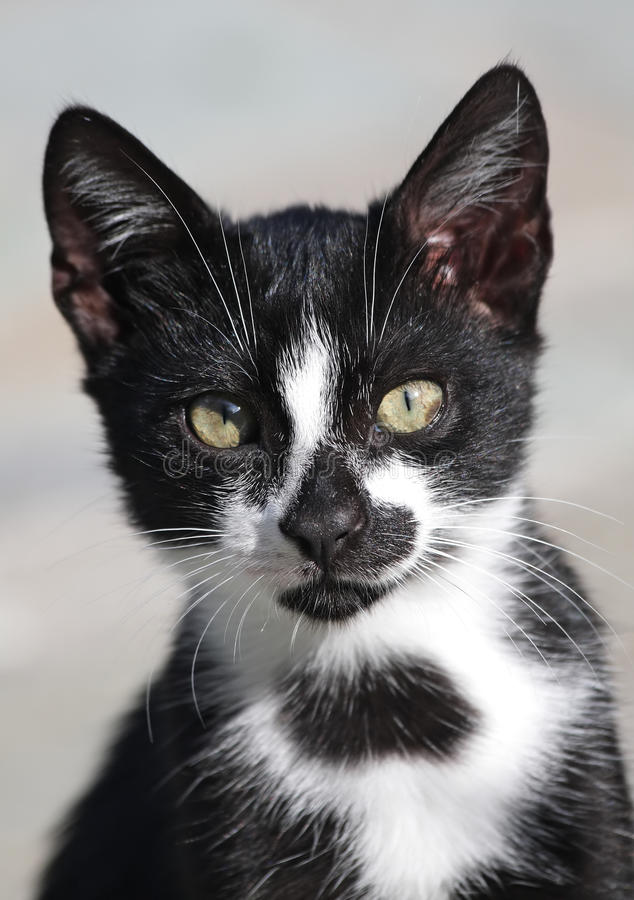 Download Black-and-white Cat Portrait Stock Photo - Image: 13550604