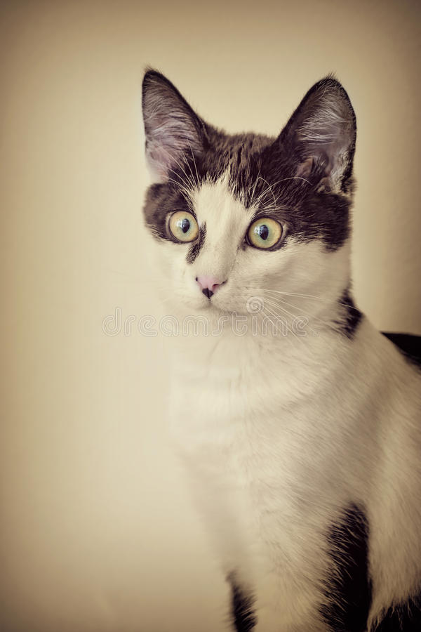 Black and White Cat. Portrait of the Domestic Black and White Cat (Retro Stylized Image royalty free stock images