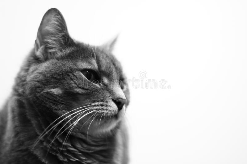 Black and white cat portrait royalty free stock photo