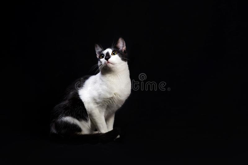 Black and white cat sit on black background. Studio shot of black and white cat sit on black background stock image
