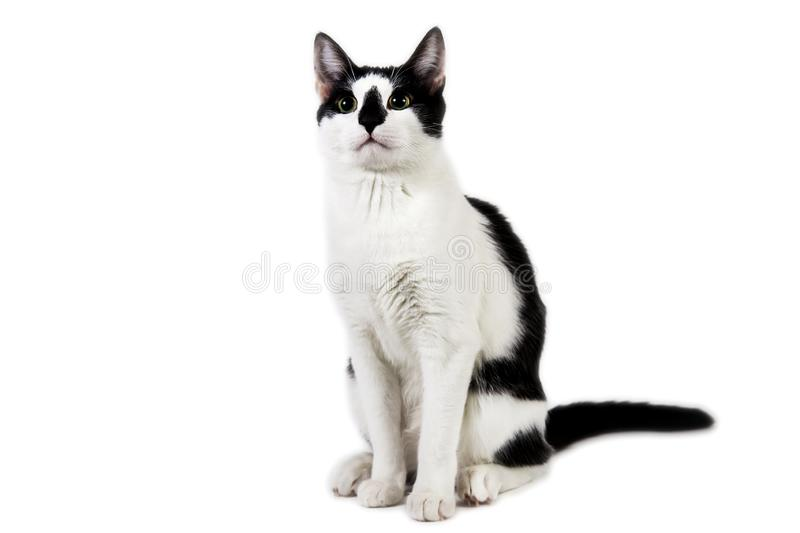 Black and white cat sit on white isolated background. Studio shot of black and white cat sit on white isolated background royalty free stock images