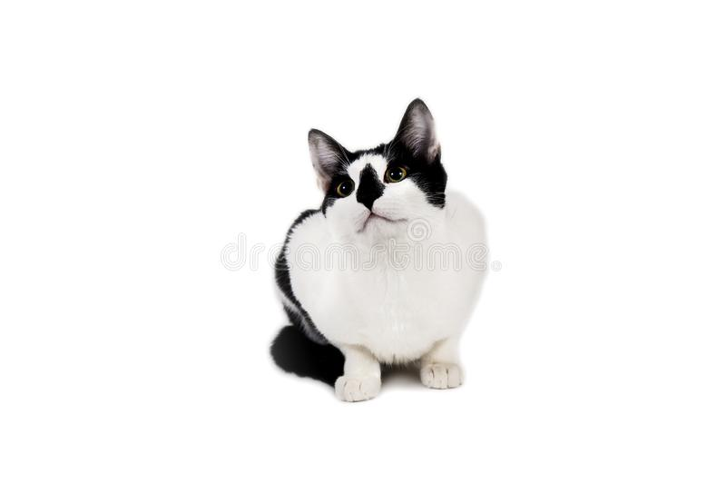 Black and white cat sit on white isolated background. Studio shot of black and white cat sit on white isolated background stock photography