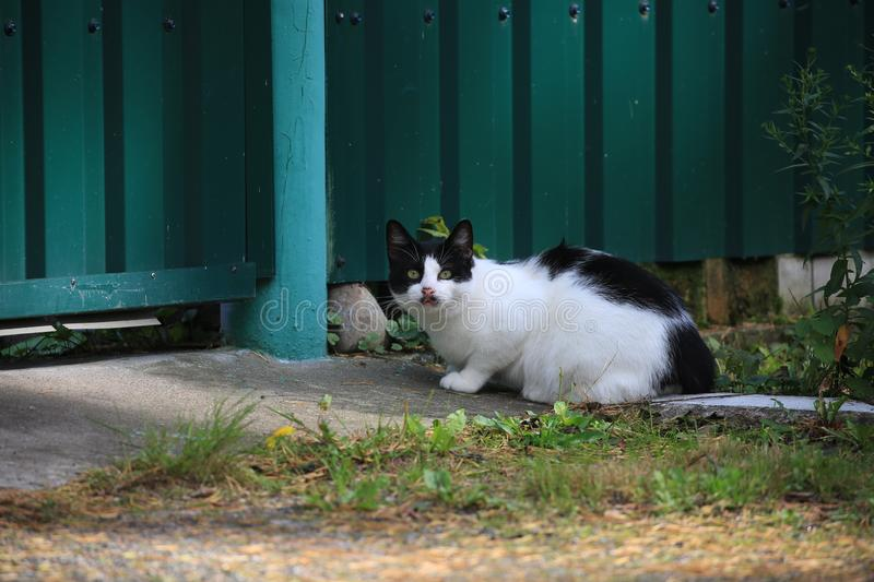 Black and white cat sits by a green solid fence on a sunny evening stock images