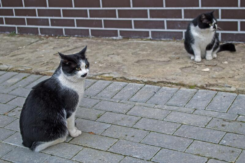 Two black-and-white cat sitting near brown brick wall on gray sidewalk with raised ears and alert eyes, staring to right. Black-and-white cat sitting on gray stock photography