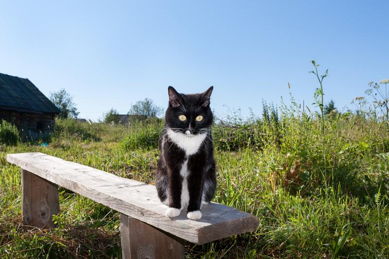 Black and white cat is sitting on wooden bench among the green g. Rass in the village in summer morning stock photos