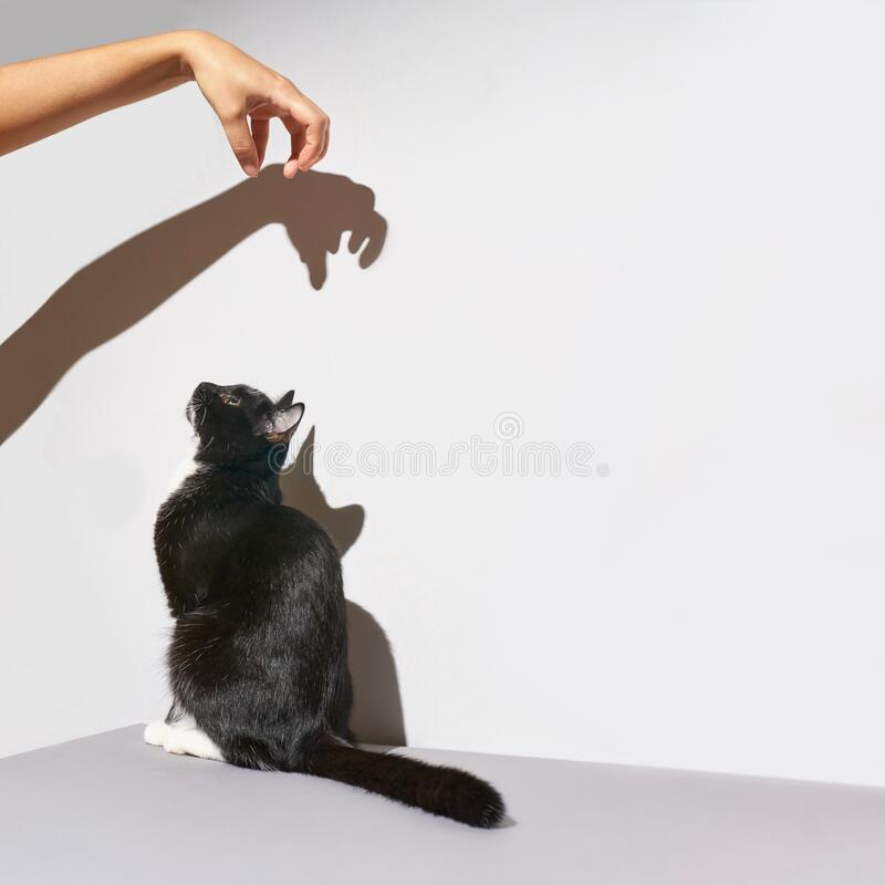 Black and white cat stand. hand frighten pet. Shadow at wall. Black and white cat stand. hand frighten pet. Hard shadow at wall. Grey background, Animal clinic stock photo