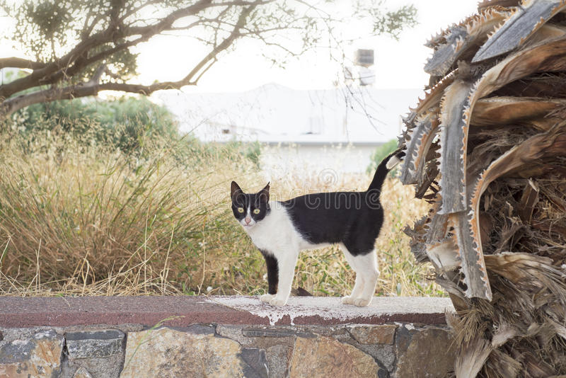 Black white cat standing on the stone wall. Hot summer in Elounda, Crete, Greece stock images