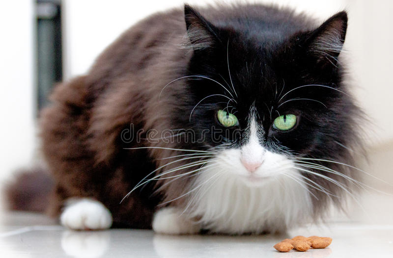 Black and white cat staring with big whiskers. Black and white cat staring at camera with bright green eyes and big whiskers evil royalty free stock image
