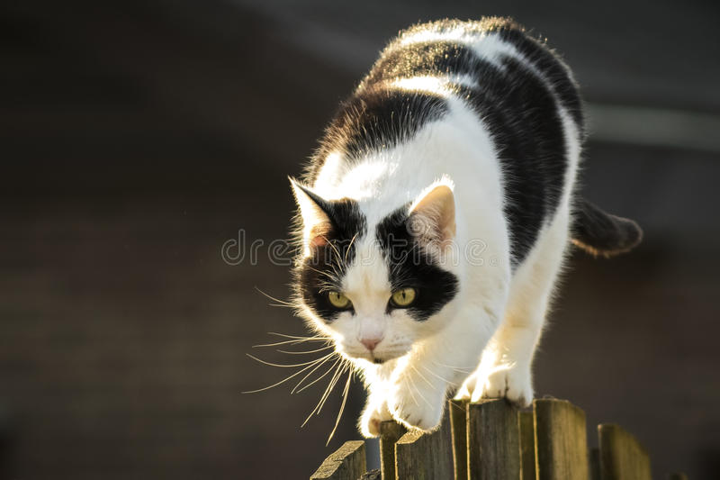 Black and white cat walking fence royalty free stock photo