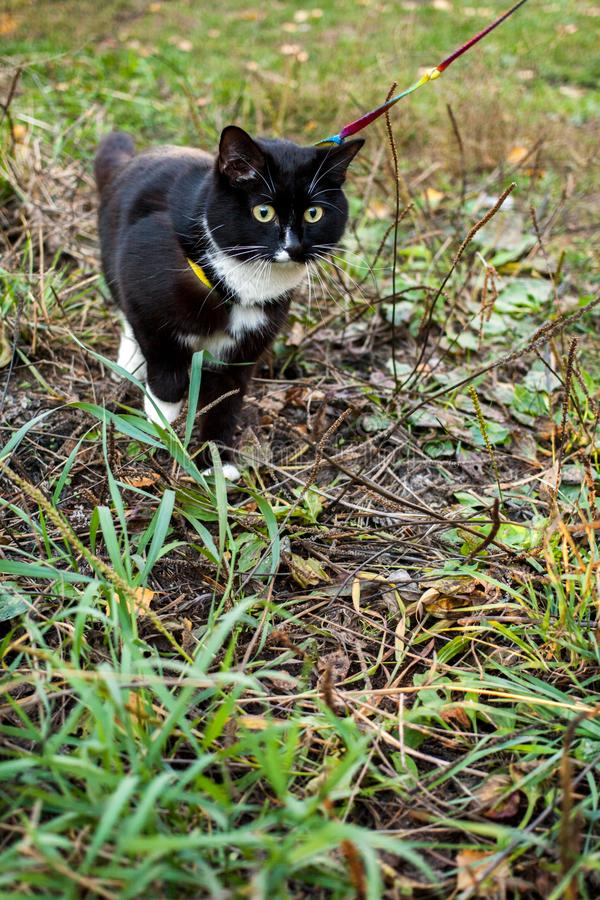 Black-and-white cat is walking on harness on grass in summer day. stock photography