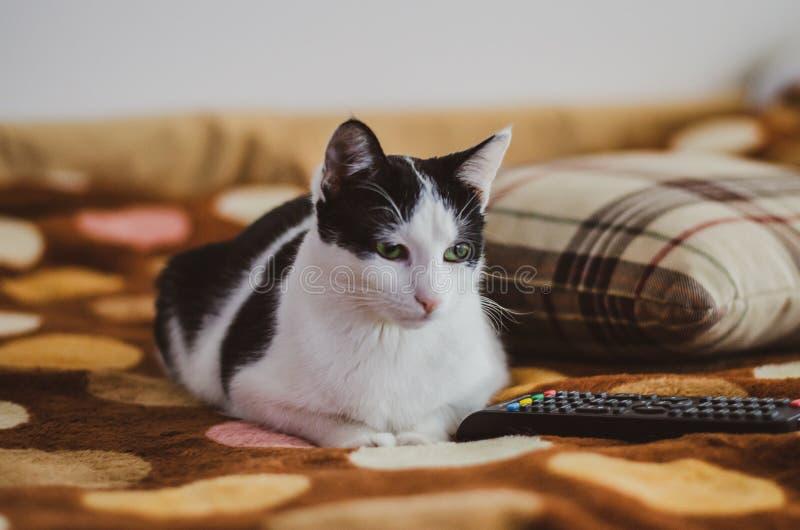 Black and white cat watching TV. Beautiful black and white cat with pink nose watching TV royalty free stock photography