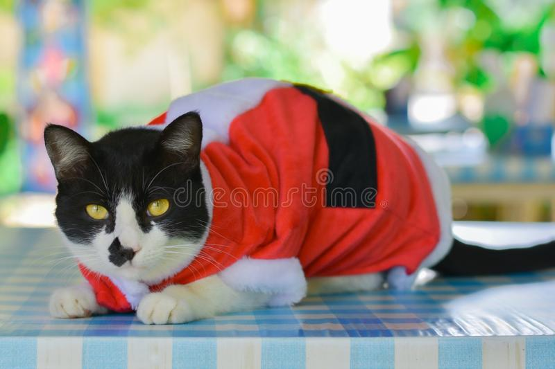 Black and white cat wear santa claus red dress sitting on table with green bokeh background. Christmas concept stock photography