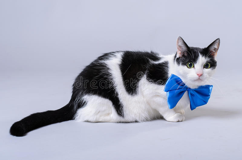 A black and white cat wears a blue bow tie. royalty free stock image