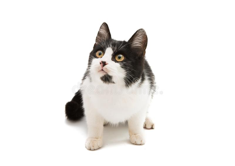 Black and white cat. On a white background stock photography
