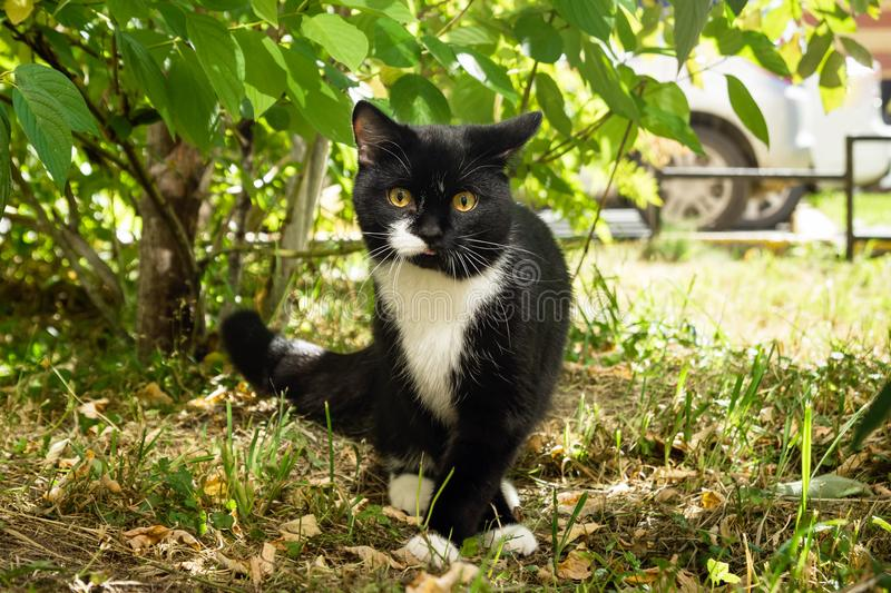 Black-white cat with yellow eyes is walking on a grass. stock photography