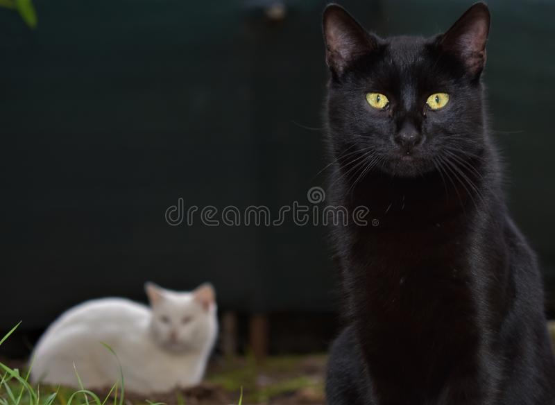 Black and white cats royalty free stock image