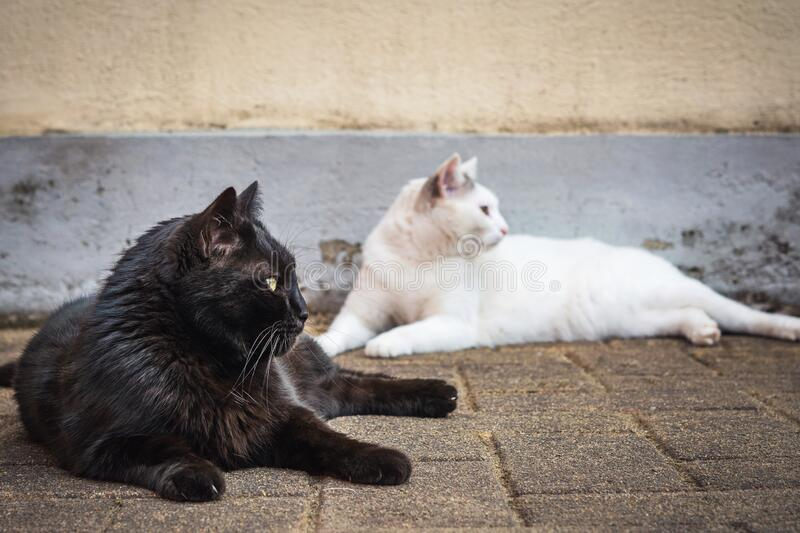 Black and white cats staring at the same direction. Two cute black and white house cats, sitting and laying beside each other royalty free stock photography