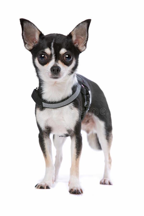 chihuahua black and white black and white chihuahua dog stock photo image of black 1548