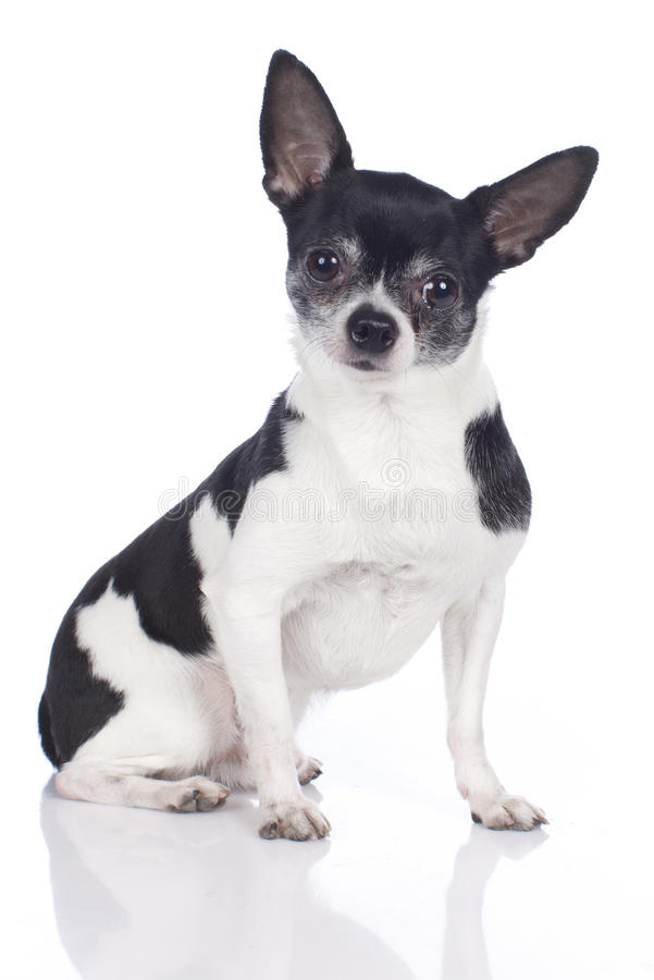 chihuahua black and white black and white chihuahua stock photo image of sitting 173
