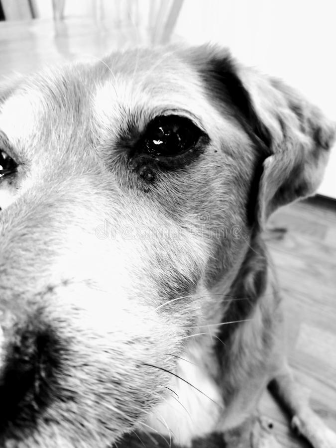 Black-and-white close-up beagle face dog royalty free stock photo