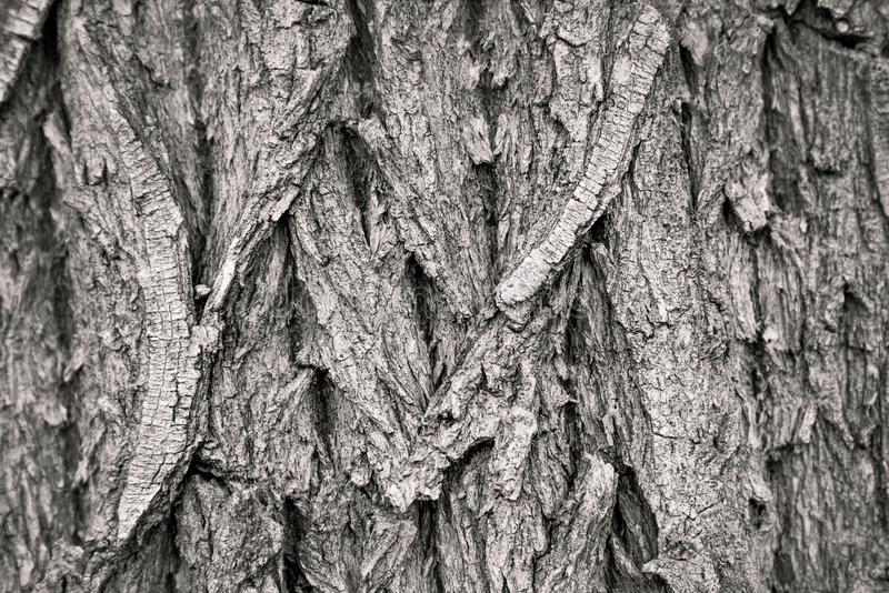 Black and white close-up of cottonwood tree trunk stock images