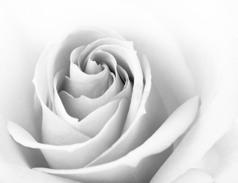 Black And White Close Up Image Of Beautiful Pink Rose