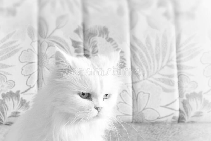 Black-and-white close-up photo of a White old cat. selective focus. Black-and-white close-up photo of a White old cat. selective focus stock photography