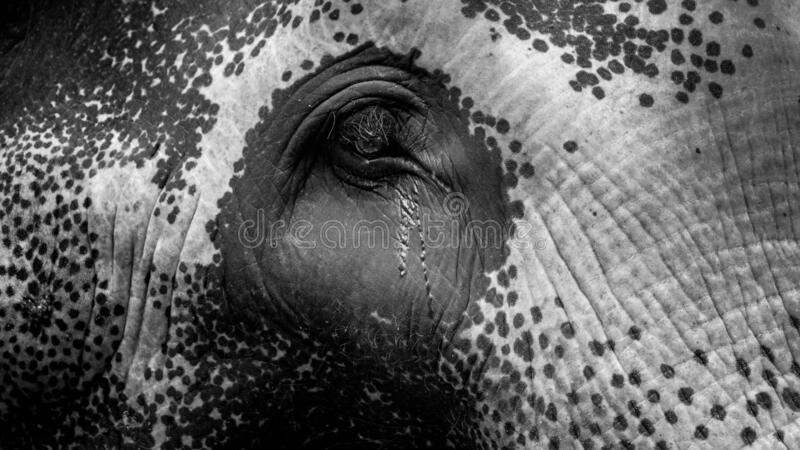 Black and white closeup photo of elephant eye with flowing tears. Concept of abuse and bad treatment of animals stock photography