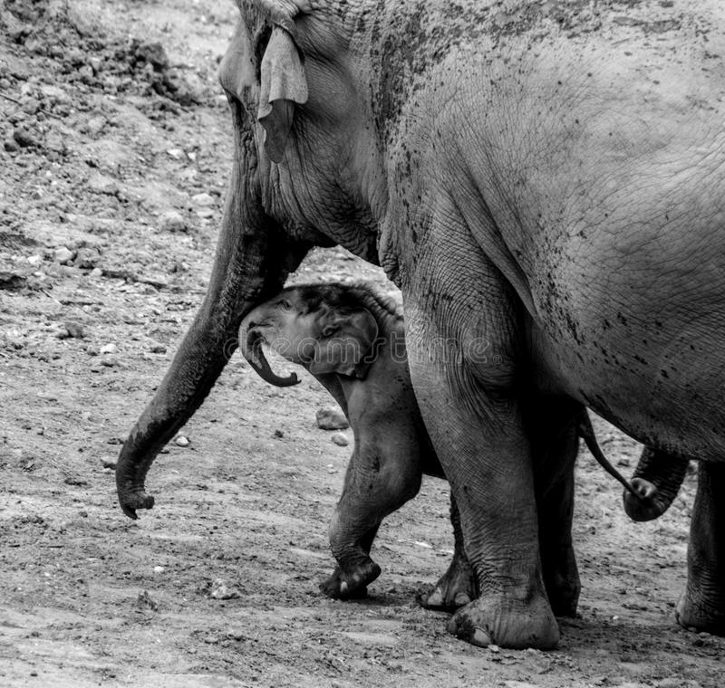 Mother elephant and calf stock images