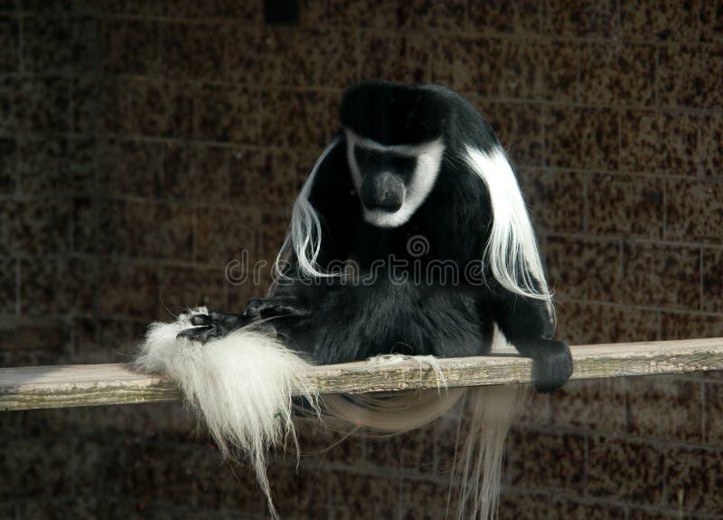 Black-and-white Colobus Stock Photos