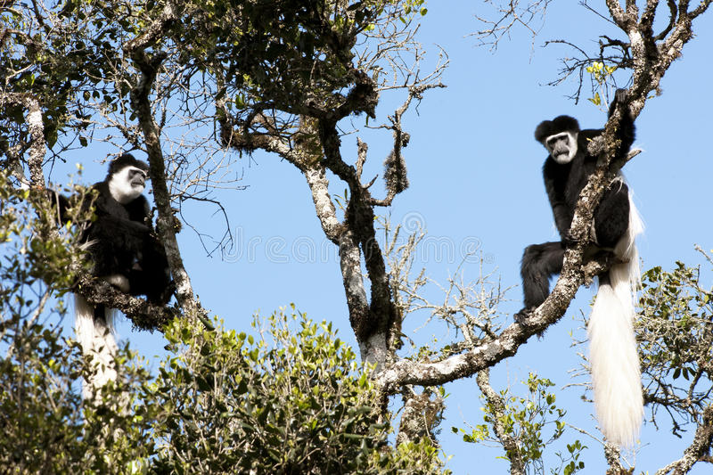 Download Black-and-white Colobus Monkeys Stock Image - Image of watch, staring: 27370383