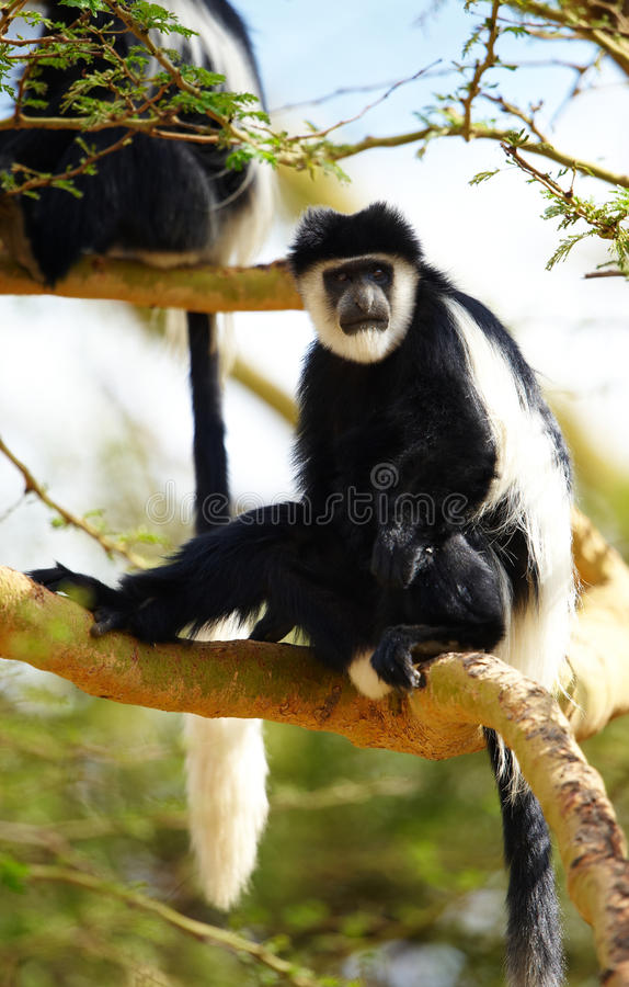 Download Black-and-white Colobus Monkeys Stock Image - Image of endangered, clever: 13665733