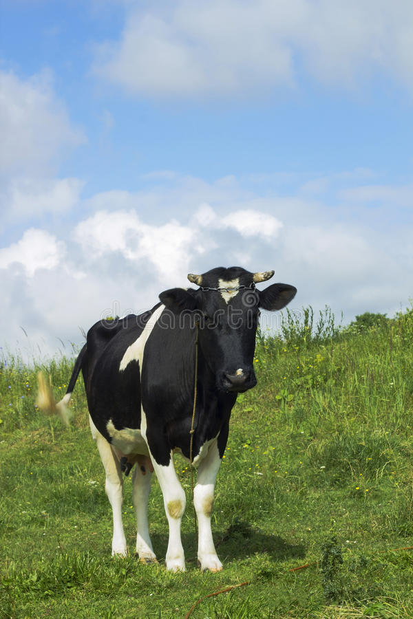 Black and white color cow grazing in green meadow. Black and white color cow grazing in meadow against blue cloudy sky, pastoral scene royalty free stock photo